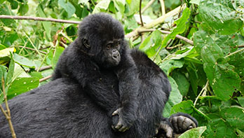 6 Day Gorilla Safari